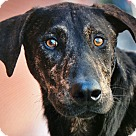 Adopt A Pet :: ARROW VON ARNSTADT