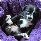Adopt A Pet :: Brianna's Pup Bali