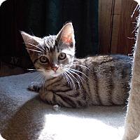 Adopt A Pet :: Laser - Carlisle, PA