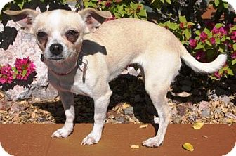 Chihuahua Mix Dog for adoption in Gilbert, Arizona - Athena