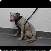 Adopt A Pet :: Hope - Seattle, WA