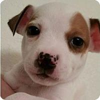 Adopt A Pet :: Elias - Indianapolis, IN