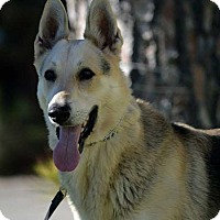 German Shepherd Dog Dog for adoption in Irvine, California - Montana