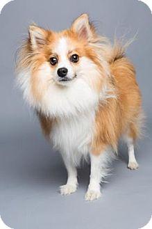 Pomeranian Mix Dog for adoption in Columbia, South Carolina - Brinkley