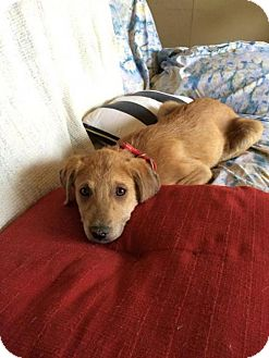 Australian Cattle Dog/Golden Retriever Mix Dog for adoption in Austin, Texas - Tom Petty