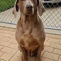 Weimaraner Dog for adoption in Grand Haven, Michigan - Marly