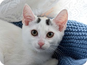Domestic Shorthair Kitten for adoption in Bristol, Connecticut - Possum