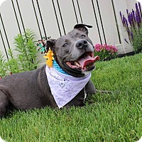 Pit Bull Terrier Mix Dog for adoption in Palmyra, New Jersey - LUCKY