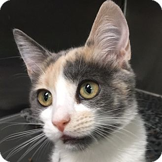 Calico Kitten for adoption in Oakdale, California - Nicole