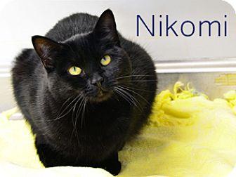 American Shorthair Cat for adoption in Hamilton, Montana - Nikomi