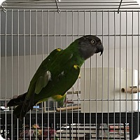 Poicephalus (including Senegal and Meyer's) for adoption in Punta Gorda, Florida - Les