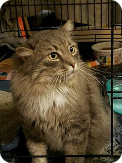 Maine Coon Cat for adoption in Stafford, Virginia - Cinco