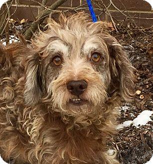 Schnauzer (Standard)/Poodle (Miniature) Mix Dog for adoption in Oswego, Illinois - Ashby
