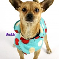 Adopt A Pet :: Buddy - Bloomington, MN