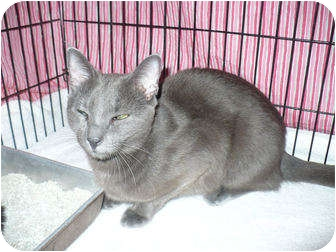 Russian Blue Cat for adoption in Colmar, Pennsylvania - Muriel