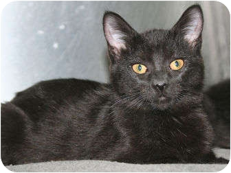 Domestic Shorthair Cat for adoption in Edmonton, Alberta - Kierra