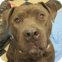 Pit Bull Terrier Mix Dog for adoption in Alliance, Nebraska - Smokey
