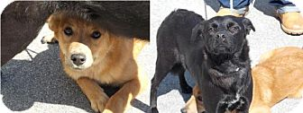 Labrador Retriever/Carolina Dog Mix Dog for adoption in Clinton, Maine - Ebony and Ivory