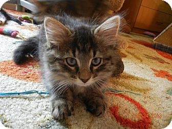 Domestic Longhair Kitten for adoption in Southington, Connecticut - Studly