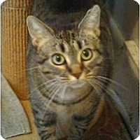 Domestic Mediumhair Cat for adoption in Stuarts Draft, Virginia - Cindy