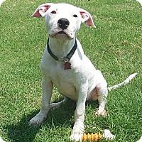 Adopt A Pet :: Swayze - Austin, AR