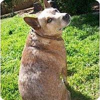 Adopt A Pet :: Tater (Tater Tot) - Phoenix, AZ