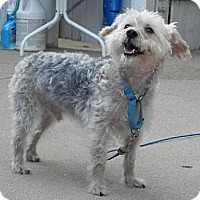 Yorkie, Yorkshire Terrier/Toy Poodle Mix Dog for adoption in Beloit, Wisconsin - Gabriel Michael