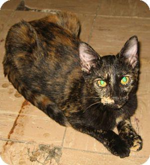 Domestic Shorthair Cat for adoption in Bulverde, Texas - Trina
