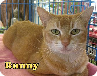 Domestic Shorthair Cat for adoption in Alhambra, California - Bunny
