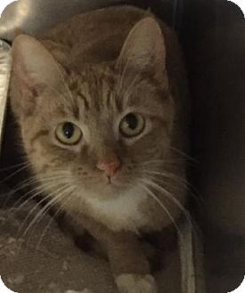 Domestic Shorthair Cat for adoption in Chicago Heights, Illinois - Jinsung