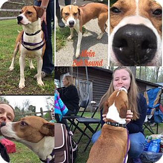 Hound (Unknown Type)/American Staffordshire Terrier Mix Dog for adoption in Delaplane, Virginia - Alvin