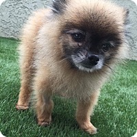Adopt A Pet :: Gizmo - Fountain Valley, CA