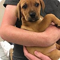 Adopt A Pet :: Champ-Lexi's Pup - Cumming, GA