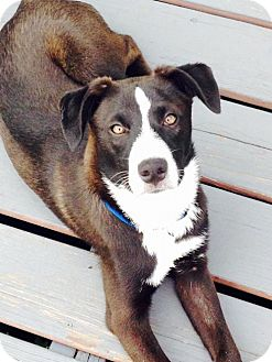 Border Collie/Labrador Retriever Mix Dog for adoption in Maple Grove, Minnesota - Harrison