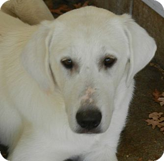 Great Pyrenees/Akbash Mix Puppy for adoption in Granite Bay, California - KYLIE