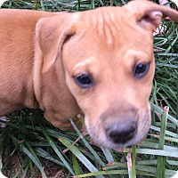 Boxer/American Pit Bull Terrier Mix Puppy for adoption in Hagerstown, Maryland - Pumpkin  (ETAA)