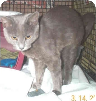 Russian Blue Kitten for adoption in Miami Beach, Florida - Bucky