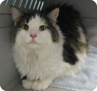 Domestic Longhair Cat for adoption in McHenry, Illinois - Sneaky