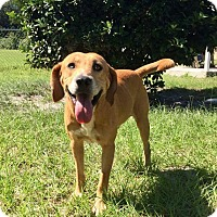 Adopt A Pet :: Copper - Umatilla, FL