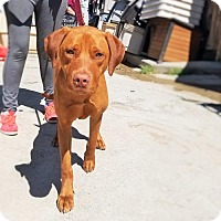 Adopt A Pet :: Copper - Atlanta, GA