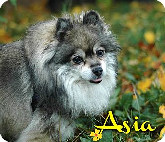 Pomeranian Mix Dog for adoption in Barriere, British Columbia - Asia