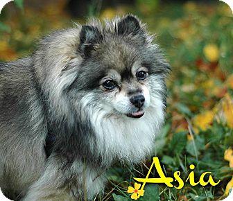 Pomeranian Mix Dog for adoption in Kamloops, British Columbia - Asia
