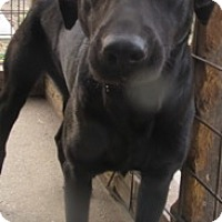 Labrador Retriever Dog for adoption in Von Ormy, Texas - Ella