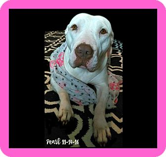 American Pit Bull Terrier Dog for adoption in Des Moines, Iowa - Pearl-NEEDS FOSTER!