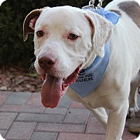 Adopt A Pet :: Oso Sweet - Las Vegas, NV