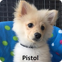 Adopt A Pet :: Pistol - Lake Forest, CA