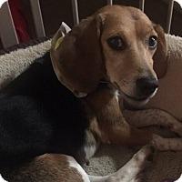 Adopt A Pet :: Tappy - Newport, KY