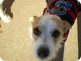 Jack Russell Terrier/Terrier (Unknown Type, Small) Mix Puppy for adoption in Apex, North Carolina - Labowski