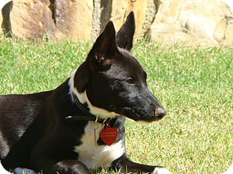 Basenji Dog for adoption in Fort Worth, Texas - MAYA