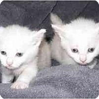 Adopt A Pet :: Manx Kittens MSE100605 - Richmond, VA